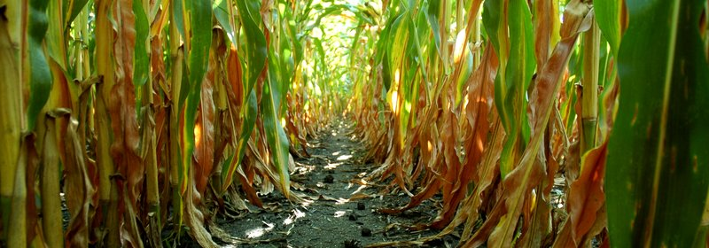 Picture related to Science & Economics of Genetically Modified Seeds